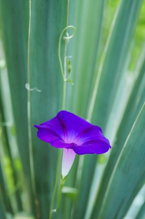 Purple Morning Glory by Anna Miller / Danita Delimont art print