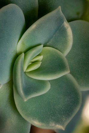 Colorado, Fort Collins, Leatherpetal Succulent Close-Up by Jaynes Gallery / Danita Delimont art print
