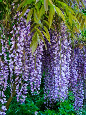 Purple Wisteria Blossoms Hanging From A Trellis by Julie Eggers / Danita Delimont art print