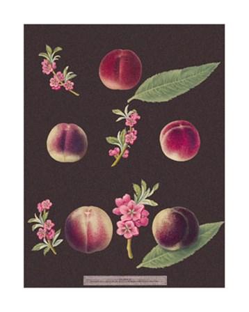 Peaches by George Brookshaw art print