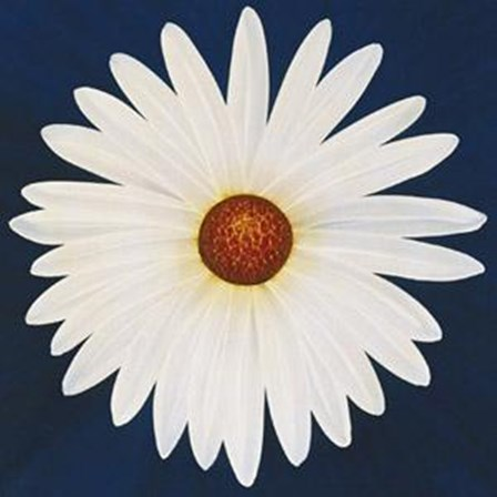 Daisy 123 - 2004 by Claire Davies art print