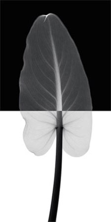 Calla Leaf I by Steven N. Meyers art print