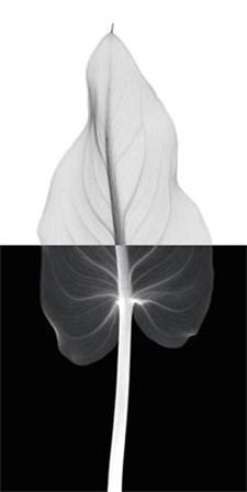 Calla Leaf II by Steven N. Meyers art print