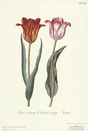 Tulipa Cultivar by George Wolfgang Knorr art print