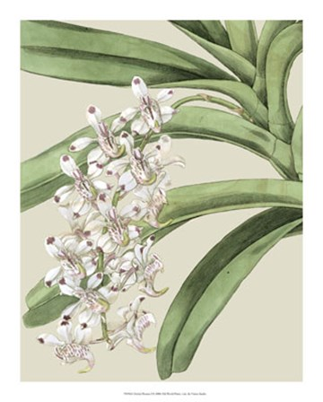 Orchid Blooms I by Vision Studio art print