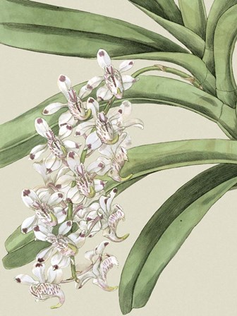 Small Orchid Blooms I (P) by Vision Studio art print
