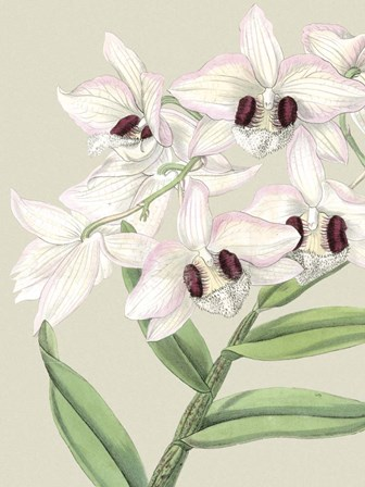 Small Orchid Blooms II (P) by Vision Studio art print