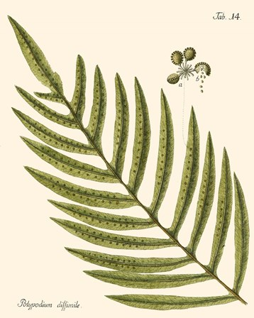 Small Antique Fern I by Vision Studio art print