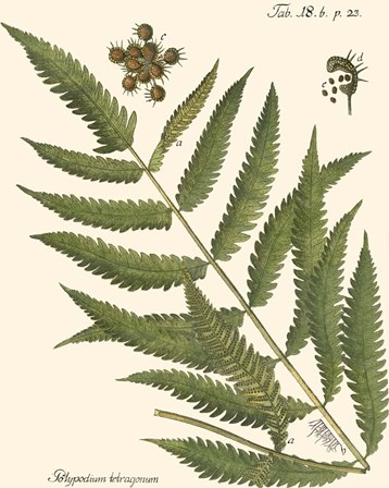 Small Antique Fern II by Vision Studio art print