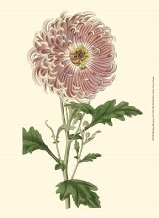 Blushing Blossoms II by Vision Studio art print