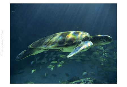 Aegean Sea Turtles I by Vision Studio art print