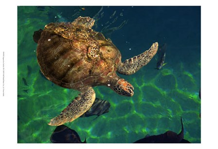 Aegean Sea Turtles III by Vision Studio art print