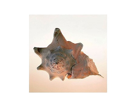 Conch by Tom Artin art print