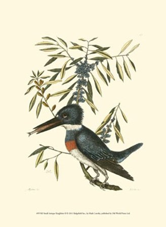 Small Antique Kingfisher II by Marc Catesby art print