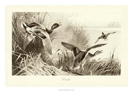Ducks by Archibald Thorburn art print