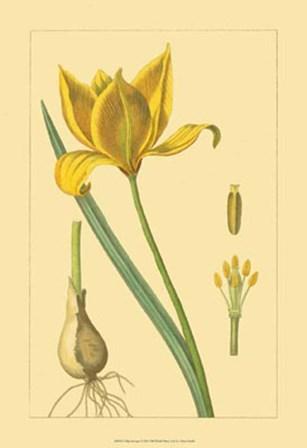 Tulipe Sauvage by Vision Studio art print