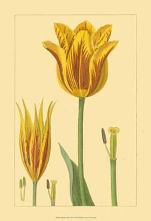 Tulipe Bossuelle by Vision Studio art print
