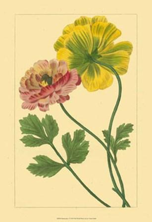 Ranunculus I by Vision Studio art print