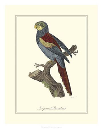 Nonpareil Parrakeet by George Edwards art print