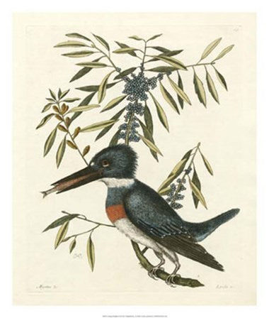 Antique Kingfisher II by Marc Catesby art print