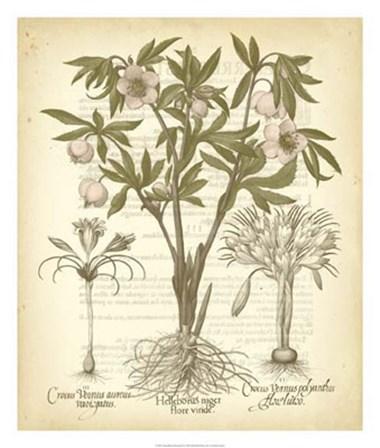 Tinted Besler Botanical I by Basilius Besler art print