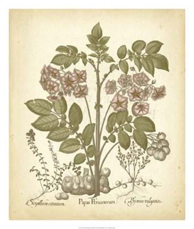 Tinted Besler Botanical III by Basilius Besler art print