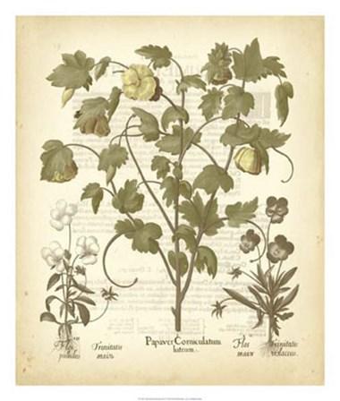 Tinted Besler Botanical IV by Basilius Besler art print