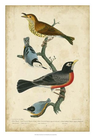 Wilson's Wood Thrush by Alexander Wilson art print