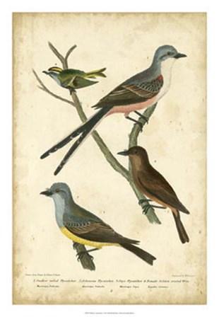 Wilson's Flycatcher by Alexander Wilson art print