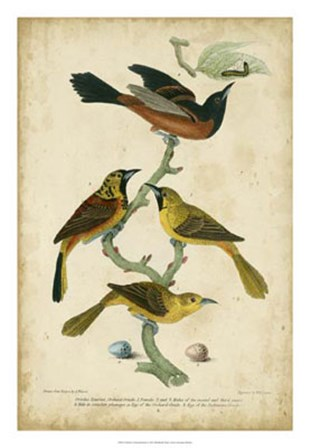Wilson's Orchard Oriole by Alexander Wilson art print