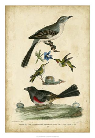 Wilson's Mockingbird by Alexander Wilson art print