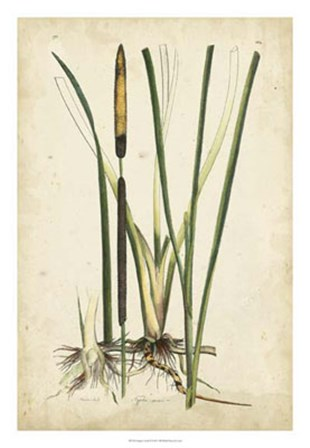 Antique Cattail II by Edward S. Curtis art print