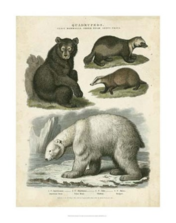 Brown Bear & Polar Bear by Sydenham Edwards art print