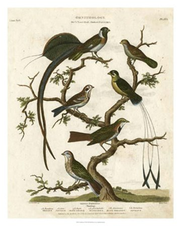 Ornithology I by Sydenham Edwards art print