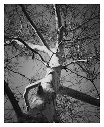 Classic Birch I by Ethan Harper art print