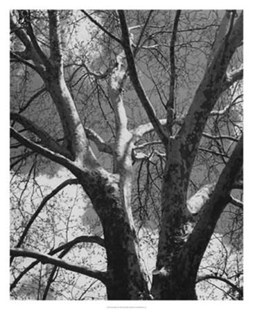 Classic Birch II by Ethan Harper art print