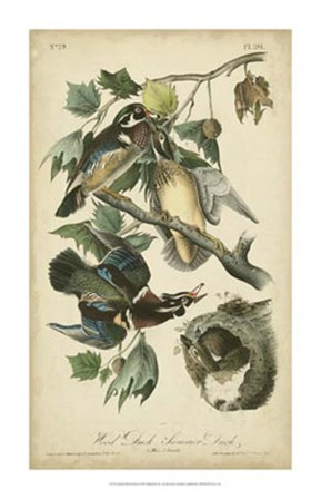 Audubon Wood Duck by John James Audubon art print