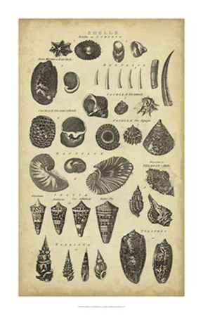 Study of Shells II by C.E. Chambers art print