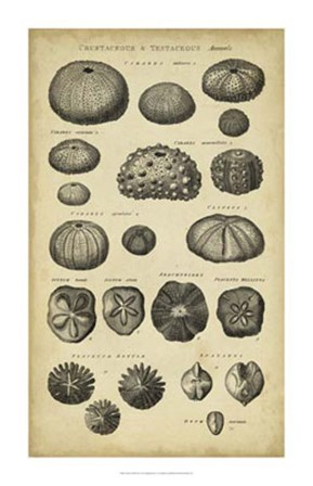 Study of Shells III by C.E. Chambers art print