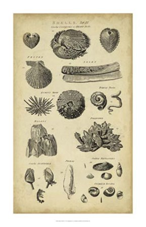 Study of Shells IV by C.E. Chambers art print