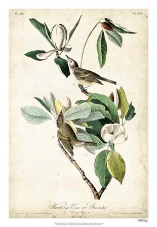 Warbling Vireo by John James Audubon art print