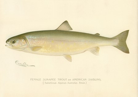 Female Sunapee Trout by Print Collection art print
