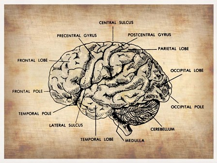 Vintage Brain Map Anatomy by Irina March Naxart Studio art print