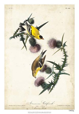 American Goldfinch by John James Audubon art print