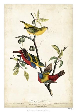 Painted Bunting by John James Audubon art print