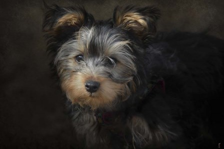 Yorkie Puppy by Jai Johnson art print