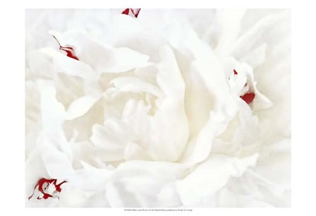White Linen Peony I by Rachel Perry art print