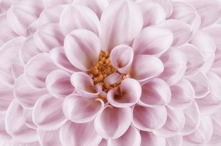 Pink Dahlia by Cora Niele art print