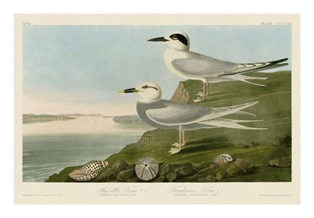 Havell's Tern & Trudeau's Tern by John James Audubon art print