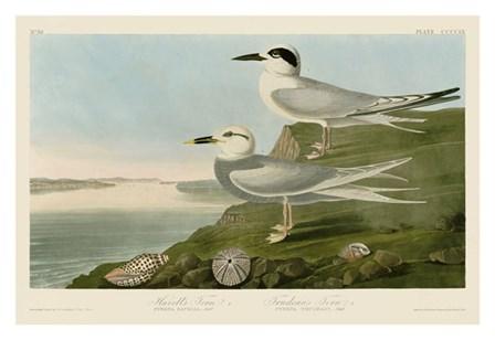 Havell's Tern & Trudeau's Tern by John James Audubon art print